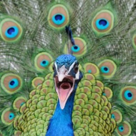 A very angry peacock face