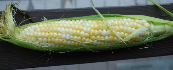 A beautiful ear of fresh bi-color corn still half in the husk