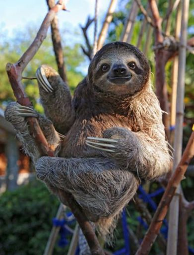 Color photo of a 3-toed sloth